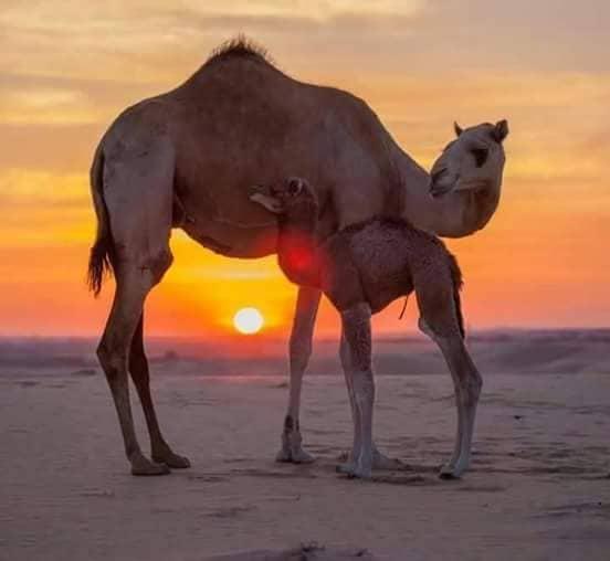 Ramla Voyages Agence de Voyages  Douz Tunisie Travel Agency Douz Tunisia Dromadaires Chameaux Sahara Douz